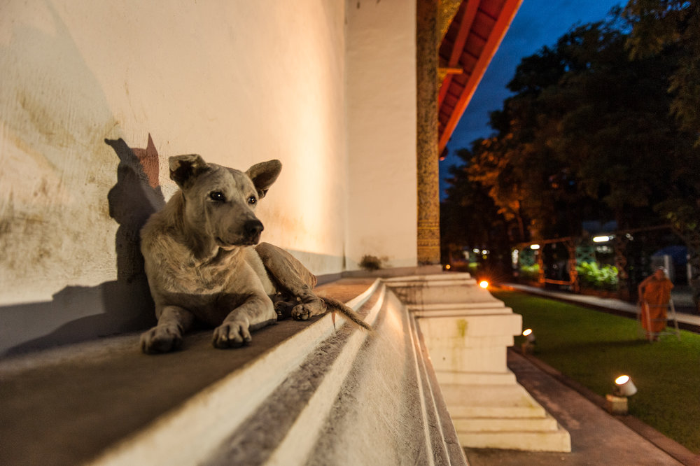 Temple Dogs of Chiang Mai