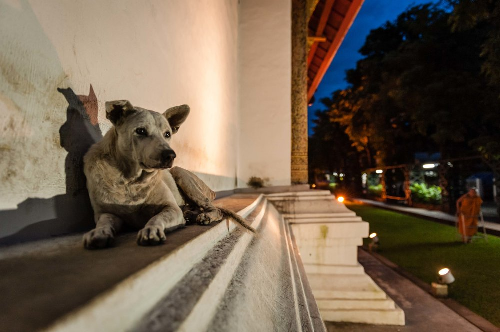 Temple Dogs of Chiang Mai, Thailand