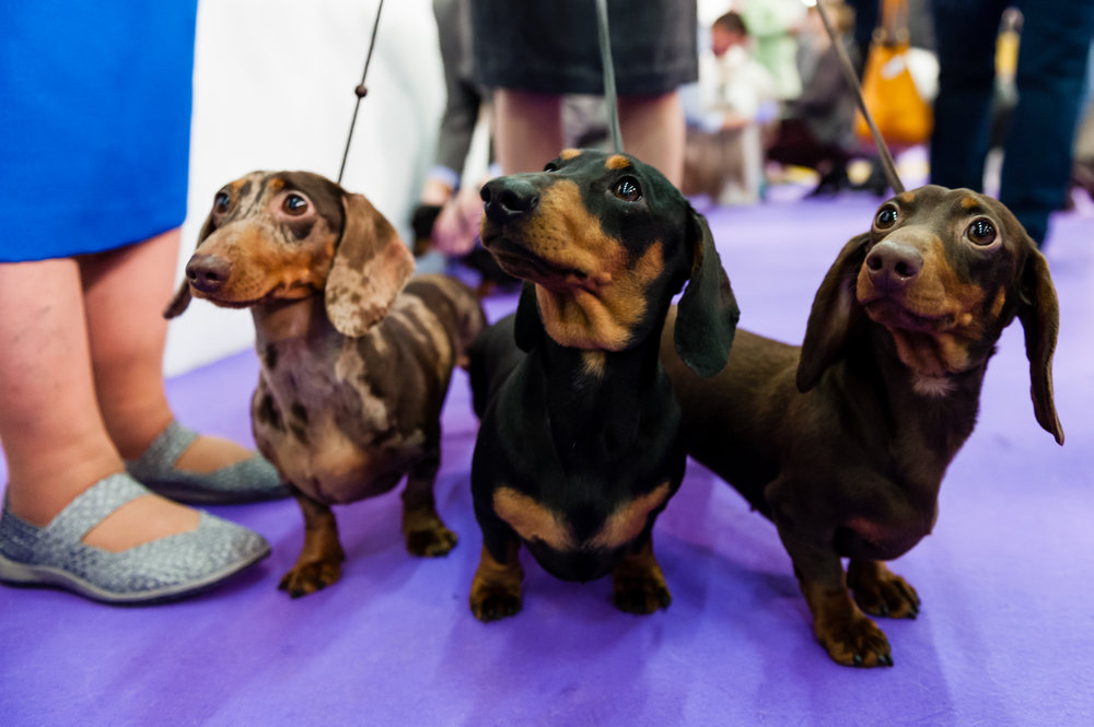 Westminster Dog Show 2017, New York City