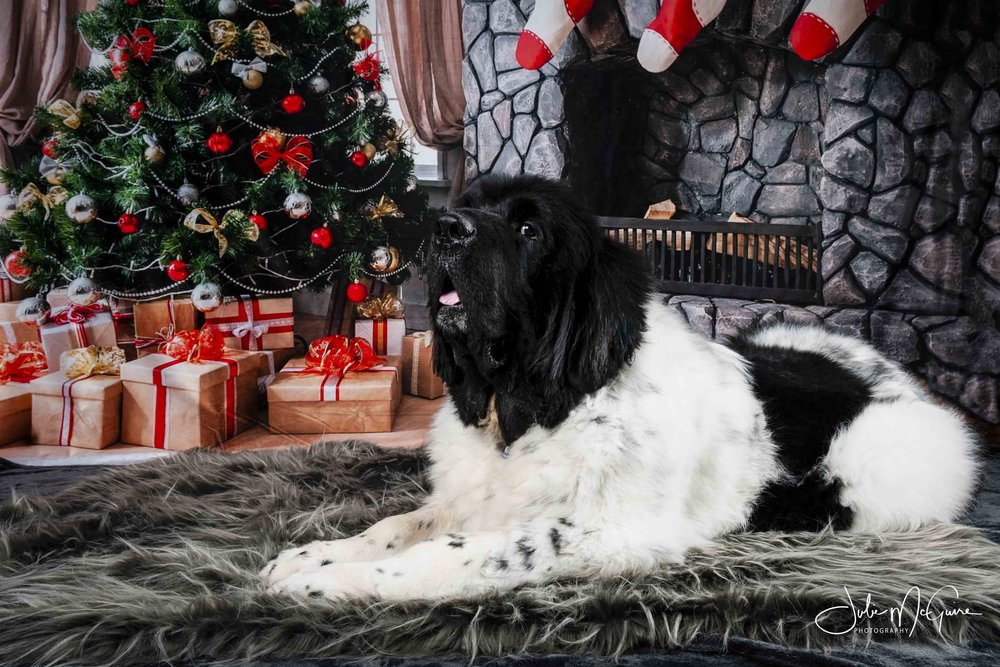 Fred the Newfoundland LOVED his Holiday photo session!