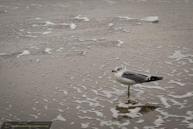 Virginia-Beach-Seagull.jpg