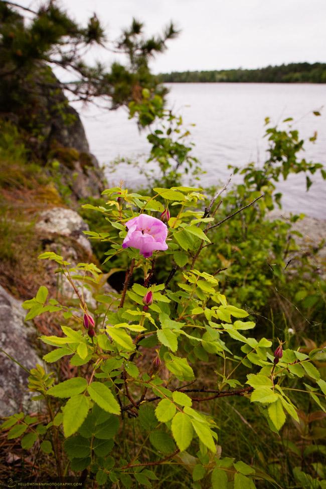 Voyageurs-Park-shore-flower.jpg