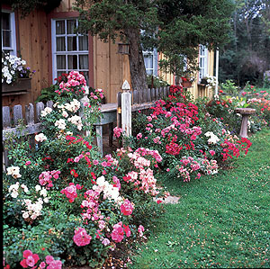 Border of Flower Carpet Roses