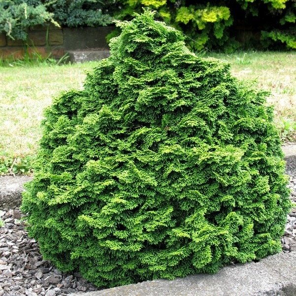 3767_418_plantes_design_chamaecyparis_obtusa_nana_gracilis[1].jpg