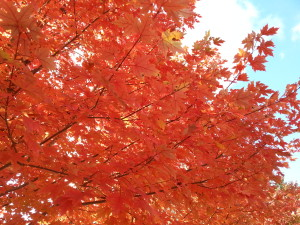 The fall glory of a maple