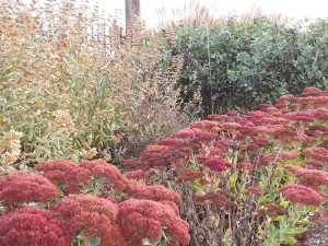 Autumn blooming sedum provides a frame for the garden behind.