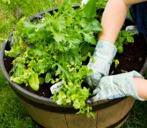 A tasty salad garden
