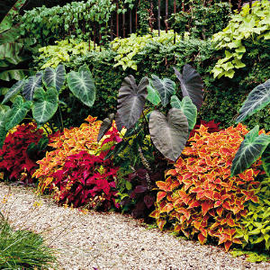 A Variety Of Coleus Brightens A Garden Walkway