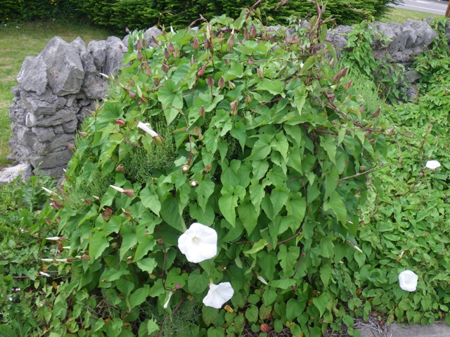 This bindweed has consumed what was growing under it