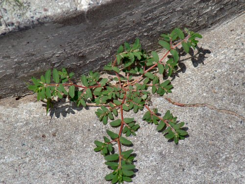 Spurge loves the little cracks and crevices in the garden