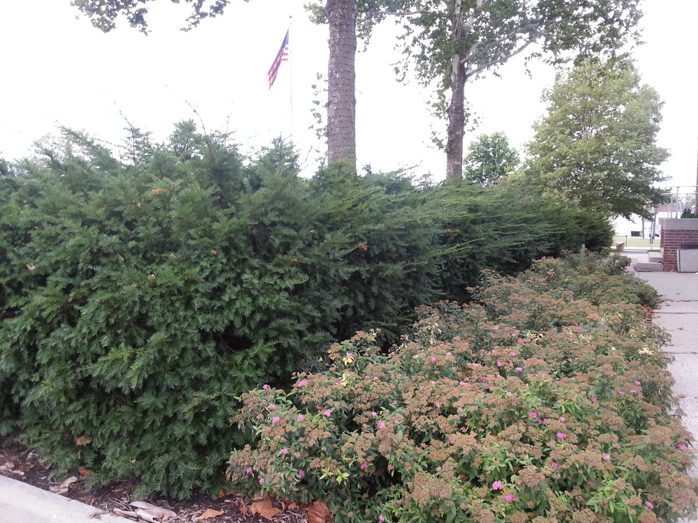 Overgrown and overwhelming taxus