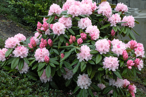 Have the rhododendron grown to outrageous heights?