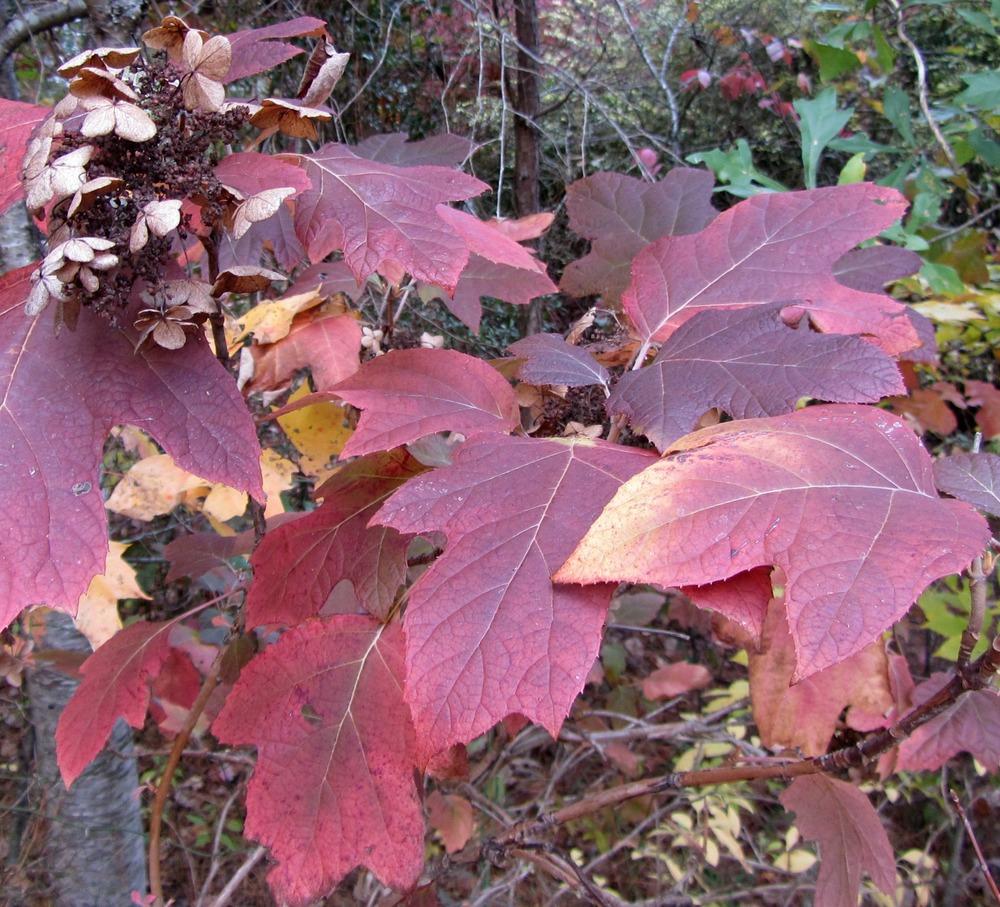 Hydrangea quercifolia in Fall.jpg