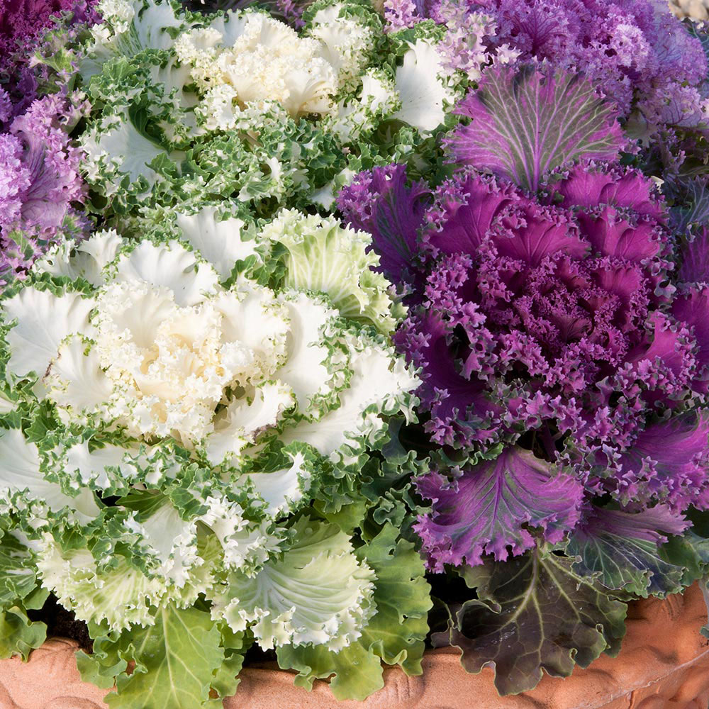 Ornamental Cabbage 2.jpg