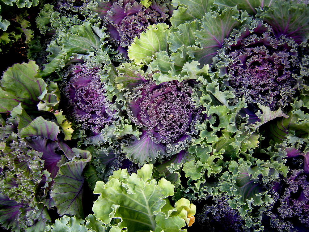 Ornamental Cabbage 1.jpg