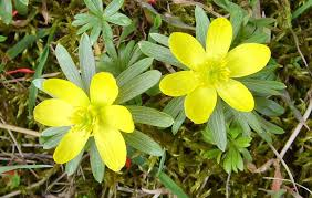 Winter Aconite 1.jpg