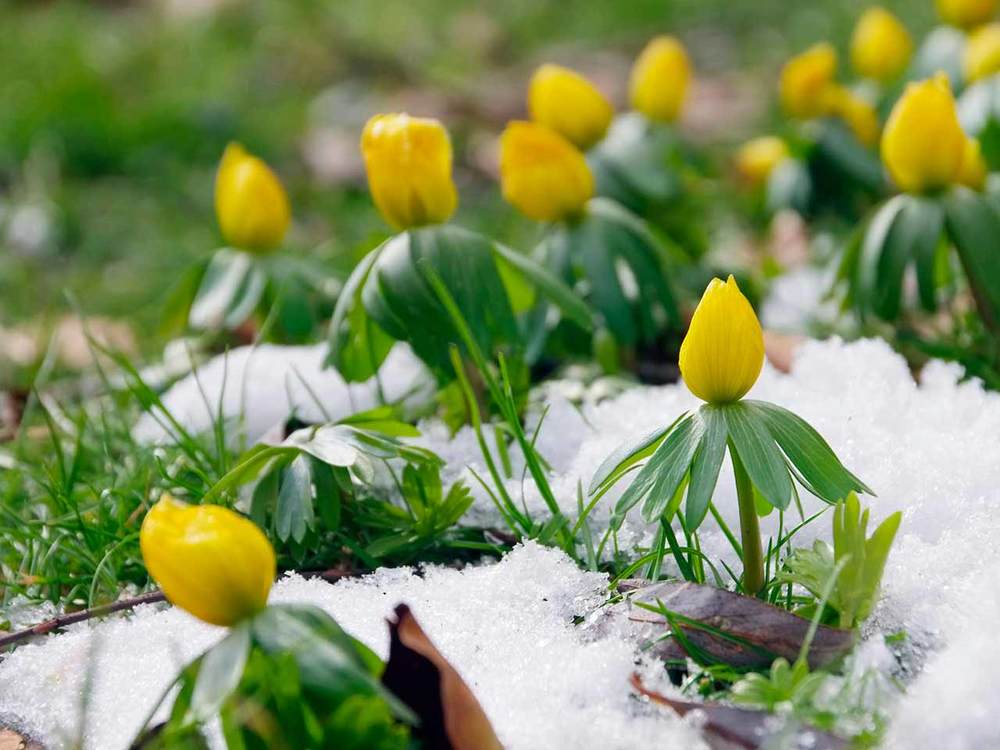 Winter Aconite 2.jpg