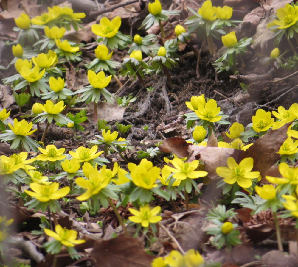 Winter-Aconite 2.jpg