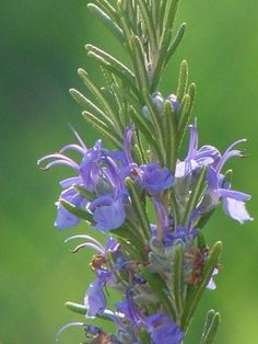 Rosemary in Bloom.jpg
