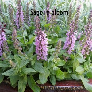Sage in bloom.jpg