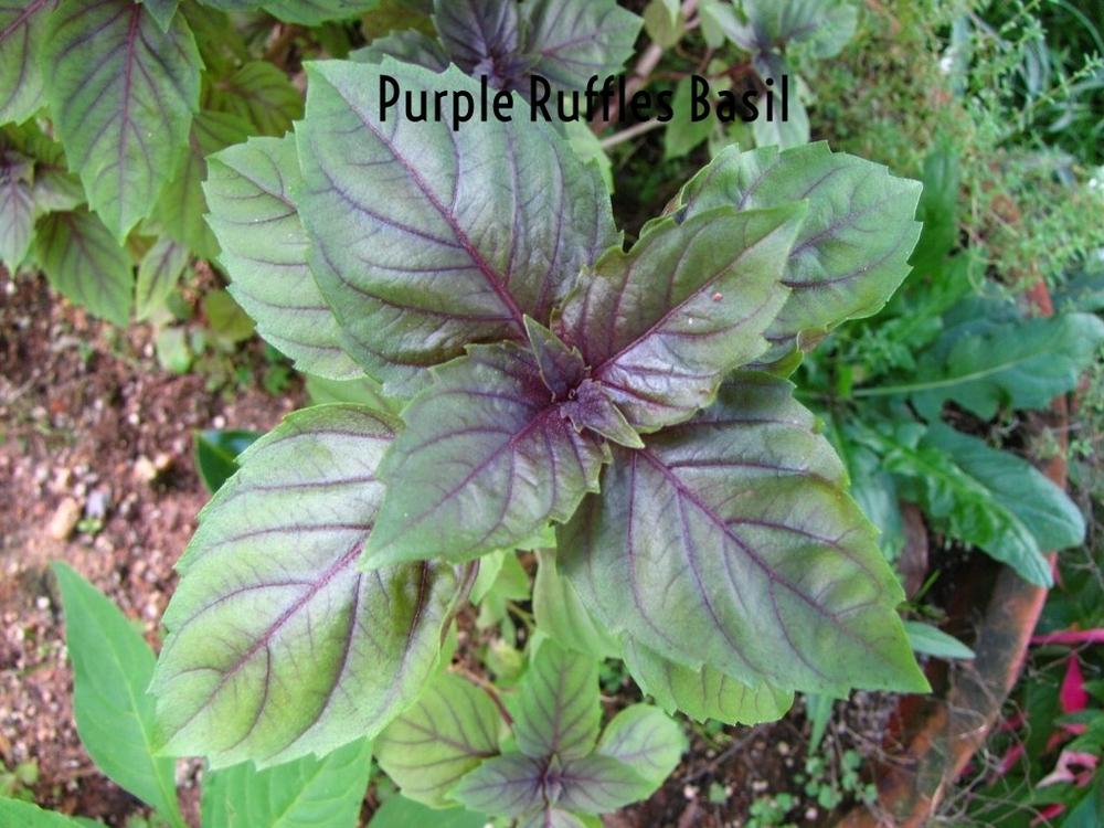 Purple_ruffles_basil.jpg