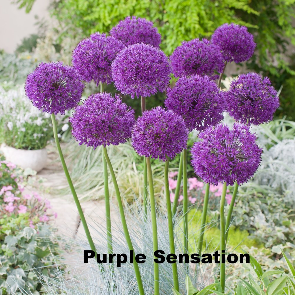 Purple Sensation.jpg