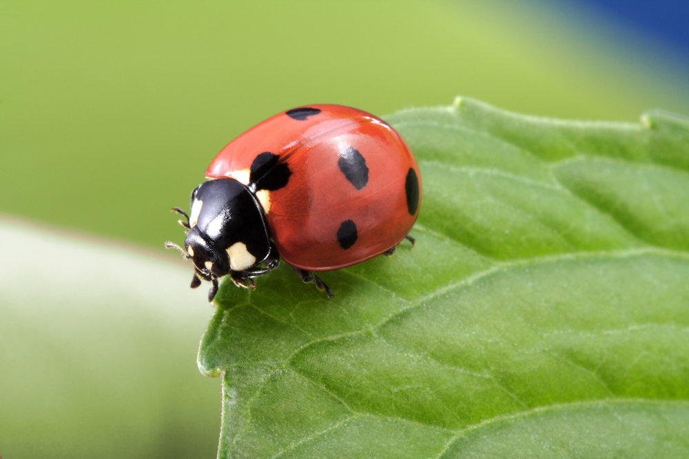 This little Ladybug knows how to get the job done!