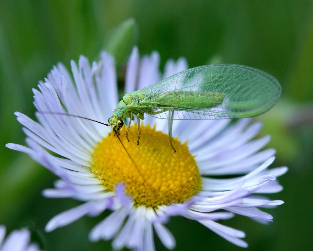 Lacewing on Daisy.jpg