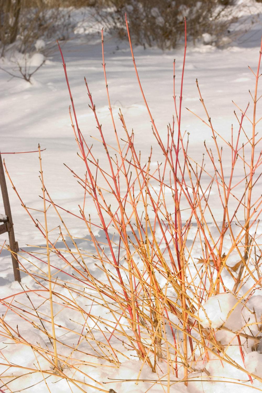 Arctic Sun Dogwood