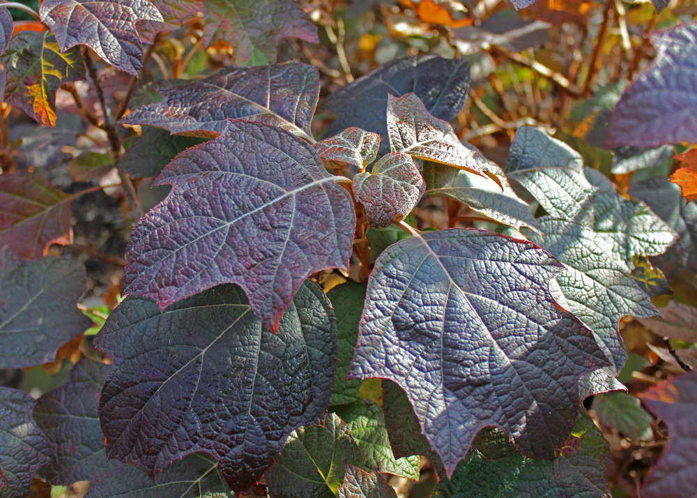 Oakleaf hydrangea in autumn