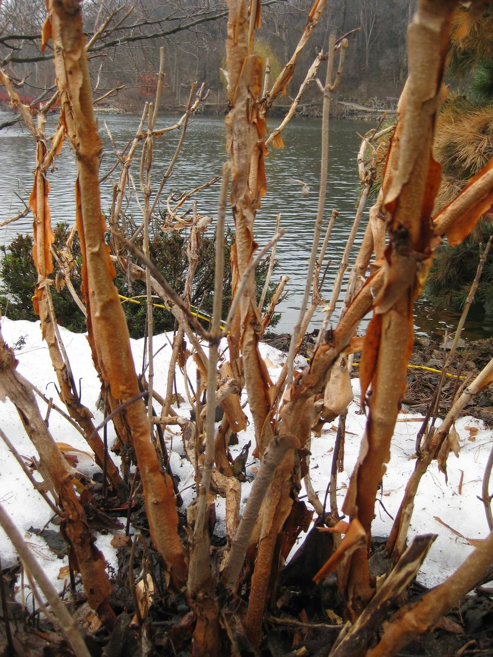Oakleaf hydrangea winter bark.JPG
