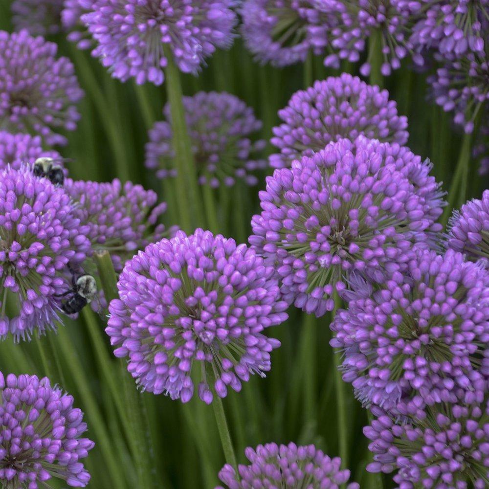 Allium_Millenium.jpg