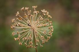 Allium Dried.jpg