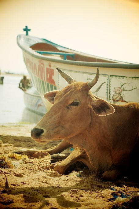 It's good to be revered…Sacred cow gazing over morning harbor scene.