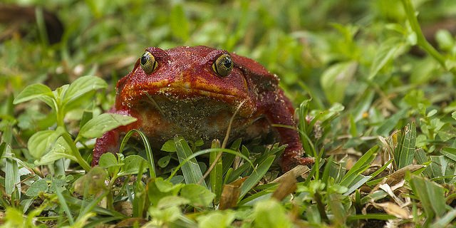 Tomato Frog Photo credit: Francesco Veronesi