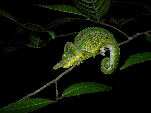 Chameleon unique to Kirindy Forest, Madagascar Photo credit: Frank Vassen