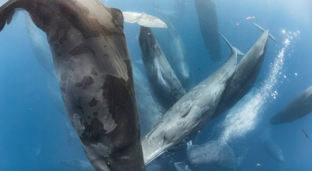 Spread across many square kilometers, this large cluster of sperm whales was part of an enormous gathering of hundreds, if not thousands, of individuals and family groups that were actively engaged in a frenzy of physical contact and biosonar communication.