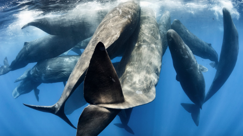 A family of sperm whales engaged in intense social activity, including a great deal of physical contact between individuals, and biosonar communication.