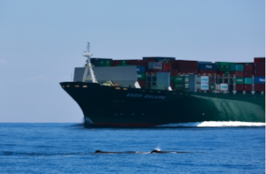 Two sperm whales surface in close proximity to a large commercial container vessel traveling at speed through a commercial shipping lane. Despite important gains in whale conservation efforts, lethal ship strikes continue to take a heavy toll on many whale populations.