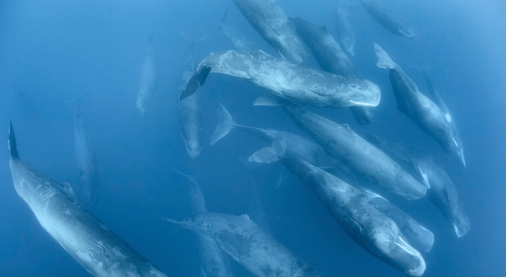 An aggregation of sperm whales engaged in social activity. This large gathering persisted for two days.