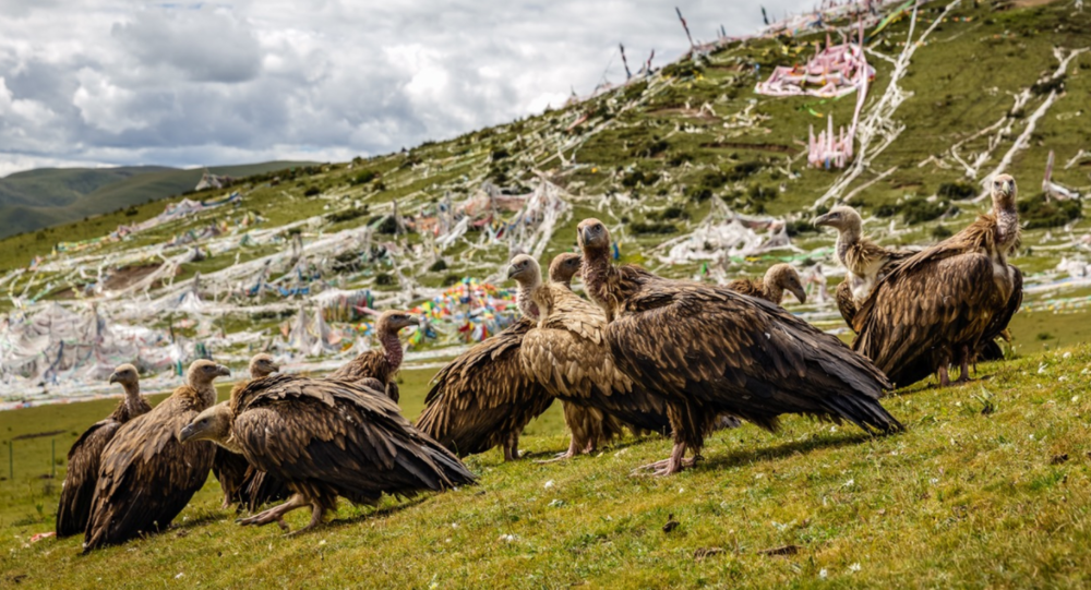 The vultures who are fed during the traditional 'Sky Burial' on the hillside above Larung Gar.