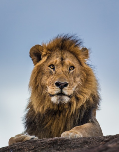 A male lion surveys his territory on the outskirts of Masai Mara National Reserve.