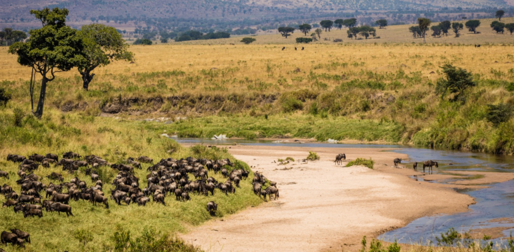 Wildebeest pause before crossing the Sand River. While the Masai Mara's resident wildebeest are all but gone, their numbers decimated primarily by agricultural expansion, each year, more than a million cross the border from Tanzania's Serengeti National Park.