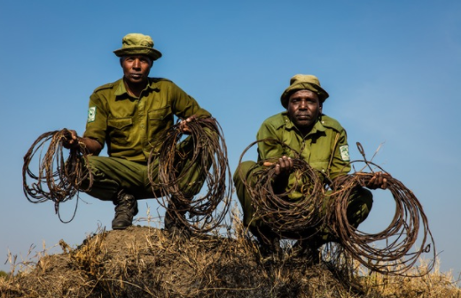 The snares displayed here by the members of the AKTF anti-poaching team were found during a single morning's patrol in the Masai Mara National Reserve.