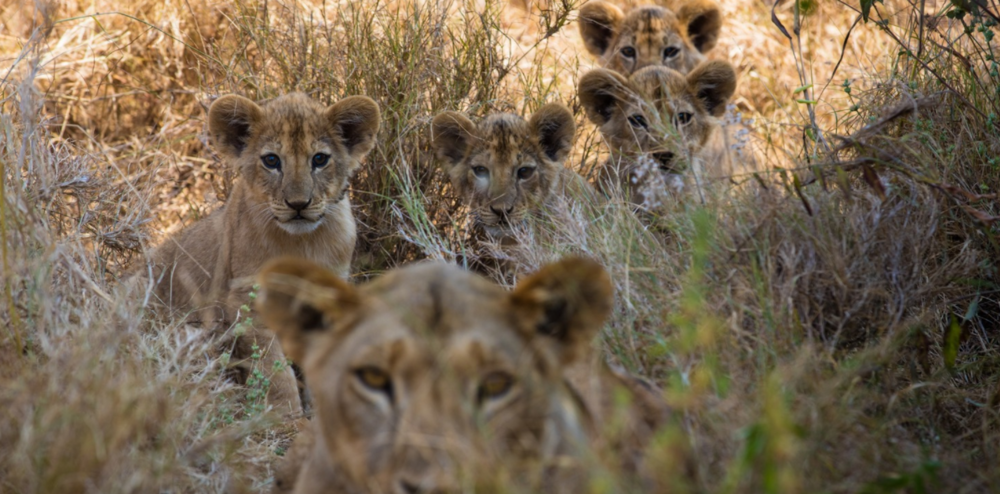 The team's first sighting of lioness Nenki's four young cubs.
