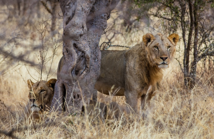 A pair of male lions seeks respite from the heat in the shade of a tree.