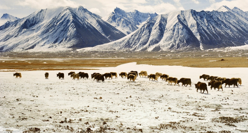Although unsuitable for cultivation, the high grasslands of Afghanistan can sustain herds of cattle, sheep, yak, and goats.