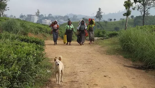 Women near Hatton, Sri Lanka finish up a shift picking tea leaves. Photo by: Catherine Cheney / Devex
