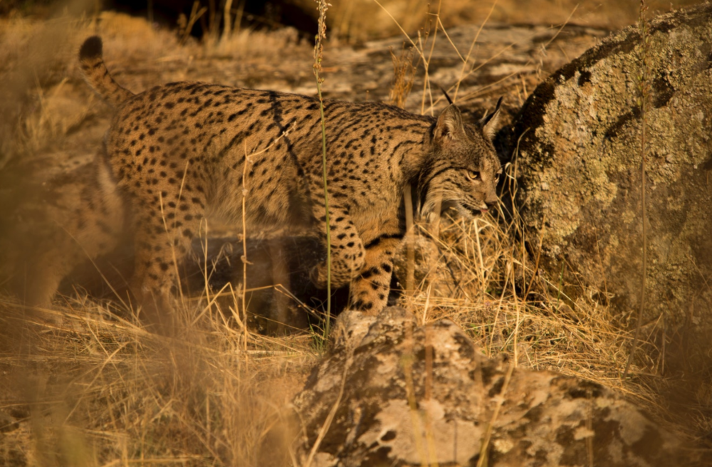 A habitat-specialist, the Iberian lynx breeds only in areas of Mediterranean shrubland, which remain vulnerable to a forest fire.