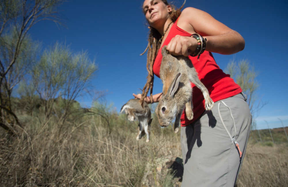 Restocking rabbit populations has been one of the conservation measures implemented in recent years.